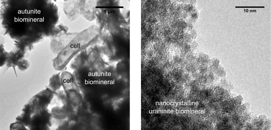 Uranium biominerals precipitated by a Serratia environmental isolate. Different experimental set ups were used to produce the autunite and uraninite mineral phases. Note the difference in image scales; the scale bar on the left image is 1 µm, on the right image it is 10 nm